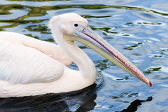 Animal portrait of pelican Royalty Free Stock Images