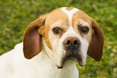 Sad dog animal portrait. Animal portrait of sad dog on green background Royalty Free Stock Photo