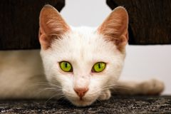 White cat with green eyes Stock Photos