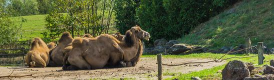 Animal portraits camels sitting down together viewing their backs. A animal portraits camels sitting down together viewing their backs royalty free stock images