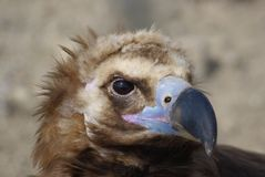 Animal Portraits--vulture. Animal Portraits vulture eye beak or snout Royalty Free Stock Photography