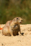 Animal: Prairie dog Royalty Free Stock Photo