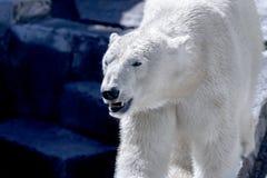 Animal predator large white bear Royalty Free Stock Images