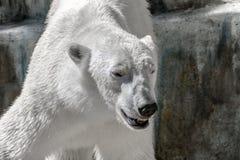 Animal predator large white bear Stock Photo