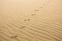 Animal Prints in Sand. Trail of animal footprints intersecting with ripples in sand - Great Sand Dunes, Colorado Stock Images