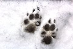 Animal Prints in the Snow. Animal prints of wolf tracks or dog tracks in the snow stock photography