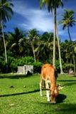 Animal que pasta en las zonas tropicales Imágenes de archivo libres de regalías