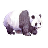 Animal réaliste de panda d'aquarelle d'isolement Image stock
