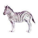Animal realístico da zebra da aquarela ilustração royalty free