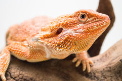 Bearded dragon pet animal on the tree white background Stock Images