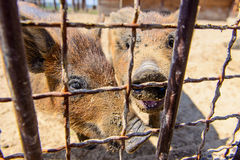 Animal red pig Stock Photography