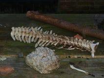Animal remains Royalty Free Stock Image