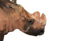 Animal rhino Stock Photography