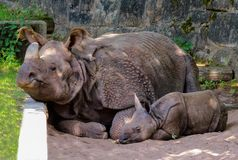 Animal, Rhino, Pachyderm Royalty Free Stock Photos