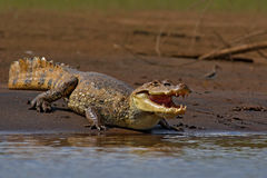 Animal in the river. Portrait of Caiman, crocodile in the water with evening sun. Crocodile from Costa Rica. Crocodile in the wate Royalty Free Stock Photography