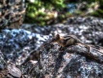 An animal on a rock. Near Moraine lake, Canada Stock Image