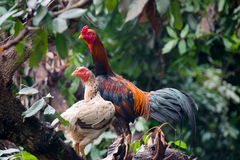 Animal - Rooster and hen on tree Royalty Free Stock Photos