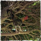 Animal. Rooster tree nature park Royalty Free Stock Image