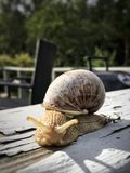 Withe  e snail Stock Image