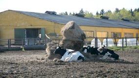 Animal ruso del mamífero de la granja de la vaca almacen de video
