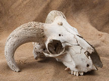 Animal's skull on sacking Royalty Free Stock Images