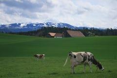 Animal sacré de Suisse Photo libre de droits