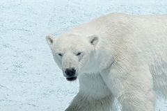 Animal safari park in Gelendzhik. Polar bear safari park in Gelendzhik Royalty Free Stock Images