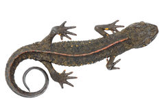 Animal salamander Stock Images