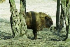 Bonasus del bisonte Imagenes de archivo