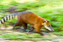 Animal salvaje de Cancrivorus del Procyon Fotografía de archivo
