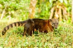 Animal salvaje de Cancrivorus del Procyon Fotos de archivo libres de regalías