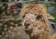 Animal salvaje de la vida de la alpaca adorable imagen de archivo