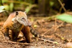 Animal salvaje de Mapache Foto de archivo libre de regalías