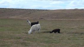 Animal salvaje del mamífero exótico de la alpaca en las montañas de los Andes de la Patagonia almacen de video