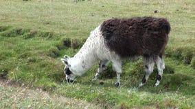 Animal salvaje del mamífero exótico de la alpaca en las montañas de los Andes de la Patagonia metrajes