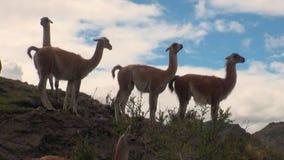 Animal salvaje del mamífero exótico del Guanaco en las montañas de los Andes de la Patagonia almacen de metraje de vídeo