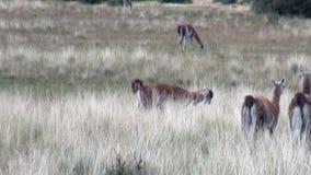 Animal salvaje del mamífero exótico del Guanaco en las montañas de los Andes de la Patagonia almacen de video