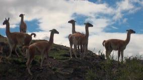Animal salvaje del mamífero exótico del Guanaco en las montañas de los Andes de la Patagonia metrajes