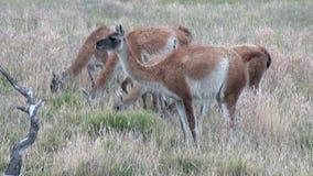Animal salvaje del mamífero exótico del lama del Guanaco en las montañas de los Andes de la Patagonia almacen de video