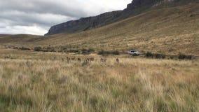 Animal salvaje del mamífero exótico del lama del Guanaco en las montañas de los Andes de la Patagonia metrajes