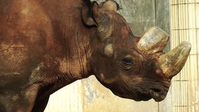 Animal salvaje del rinoceronte almacen de video