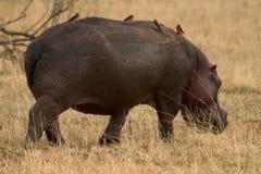 Animal salvaje en África, parque nacional del serengeti Imagen de archivo libre de regalías