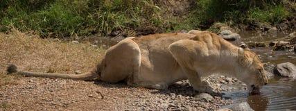 Animal salvaje en África, parque nacional del serengeti Fotografía de archivo libre de regalías