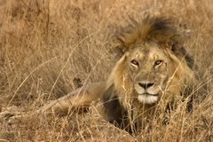 Animal salvaje en África, parque nacional del serengeti Fotos de archivo libres de regalías