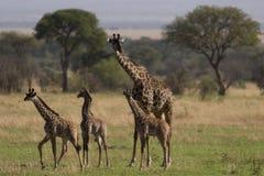 Animal salvaje en África, parque nacional del serengeti Fotos de archivo