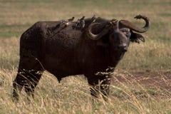 Animal salvaje en África, parque nacional del serengeti Imagenes de archivo