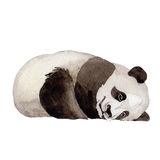 Animal sauvage de panda dans un style d'aquarelle d'isolement Photographie stock libre de droits
