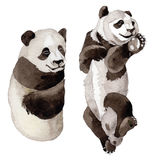 Animal sauvage de panda dans un style d'aquarelle d'isolement Photographie stock