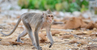 Animal sauvage de singe image stock