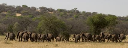 Animal sauvage en Afrique, stationnement national de serengeti Image stock